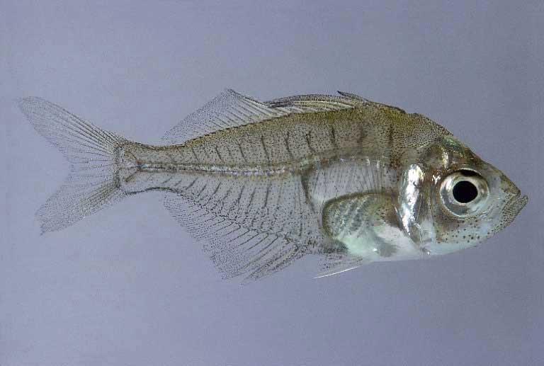 P33 for Comida viva para peces